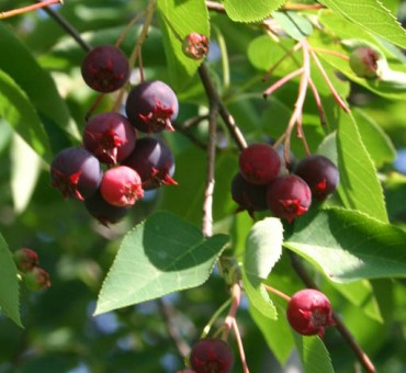 Keweenaw Allegheny Serviceberry