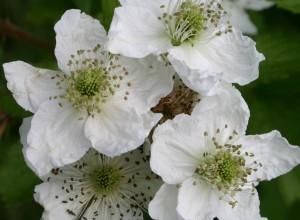 Thimbleberry Seeds