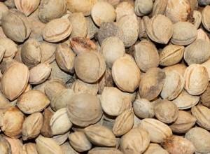 Ussuri Plum Seeds