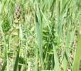 Very Wild Asparagus
