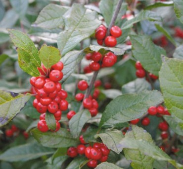 Winterberry Holly Seeds