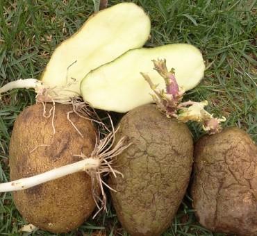 Zolushka Potato