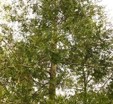 American Beauty Atlantic White Cedar