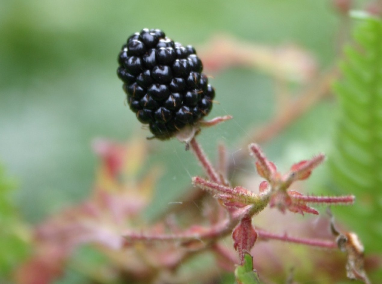 Illinois Blackberry