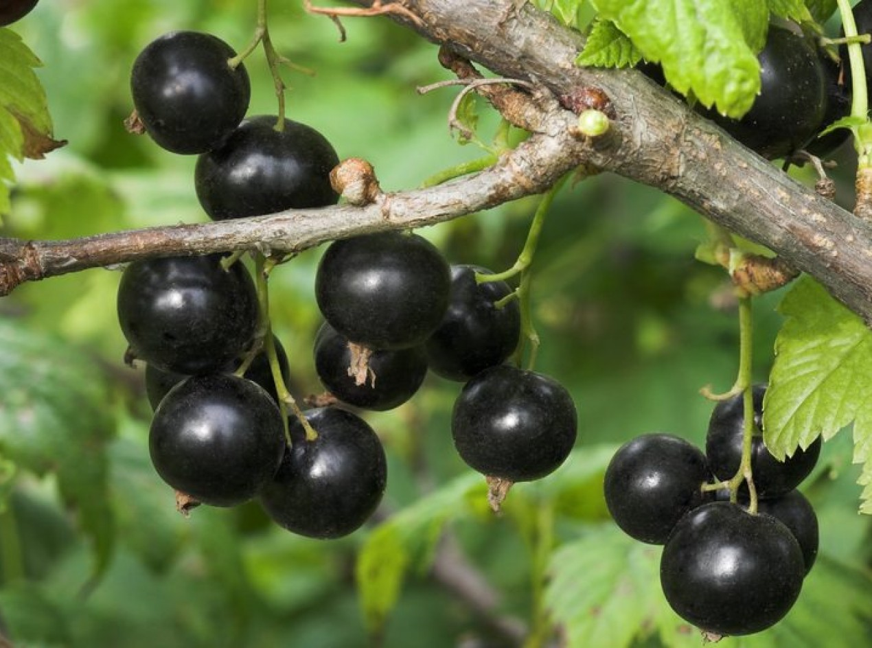 'Fruit River' Black Currant