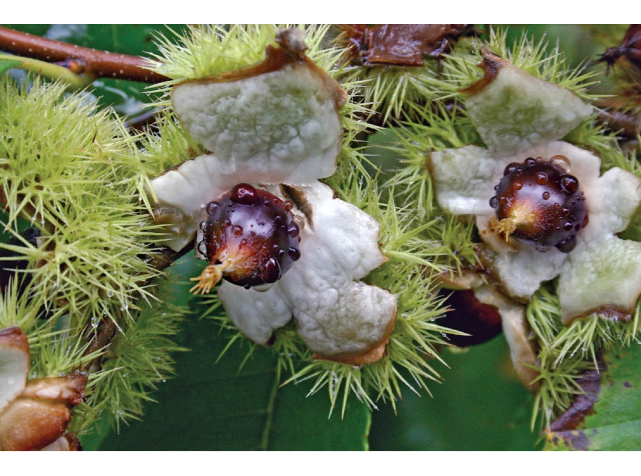 Chinquapin Chestnut