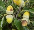 Dwarf Chinkapin Oak
