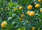 Hardy Orange