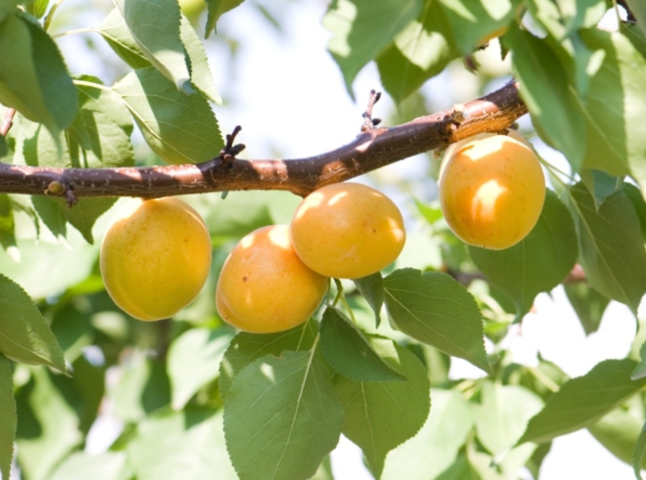 Heirloom Apricot