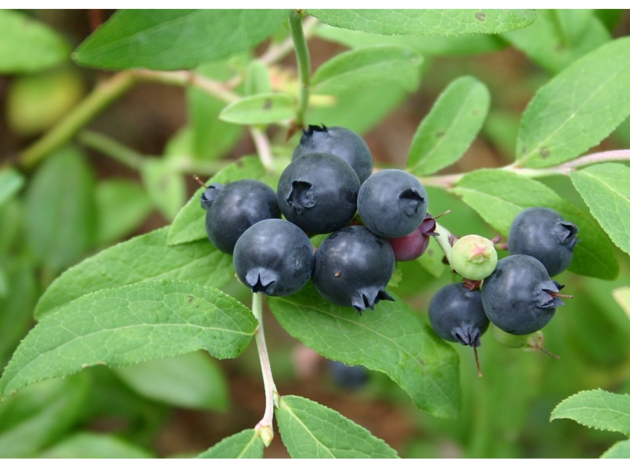 Dryland Blueberry Seed