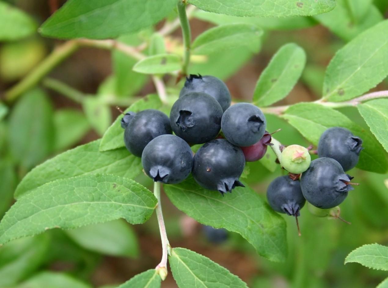 Dryland Blueberry Seed
