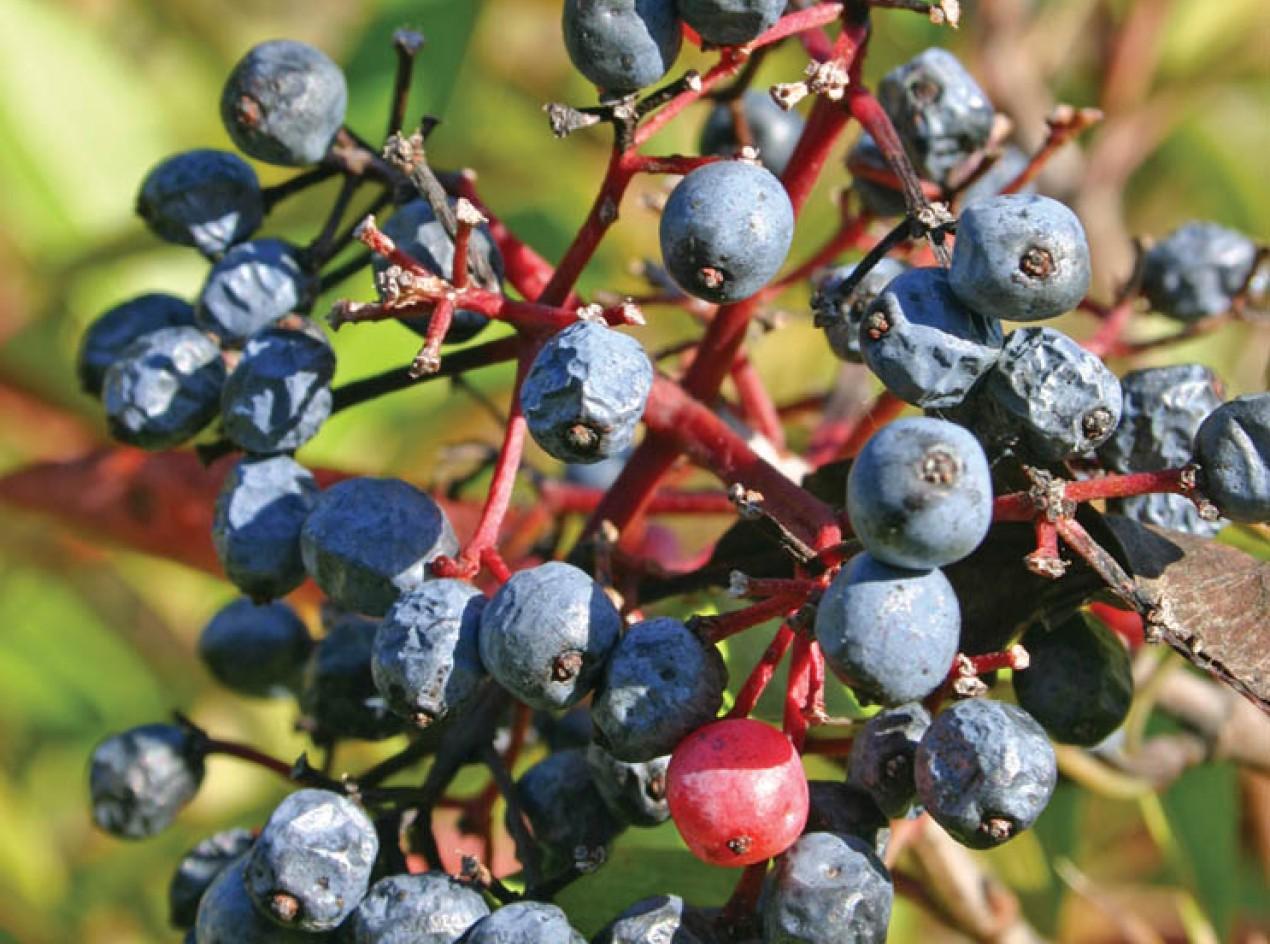 Northern Wild Raisin Seeds
