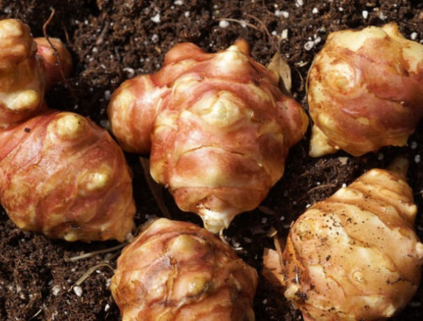 Red Ball Sunchoke