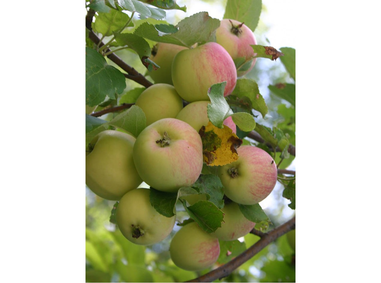 Wild Apple Seeds