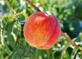 Wisconsin Peach