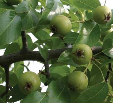 Almond-leaf Pear Seeds