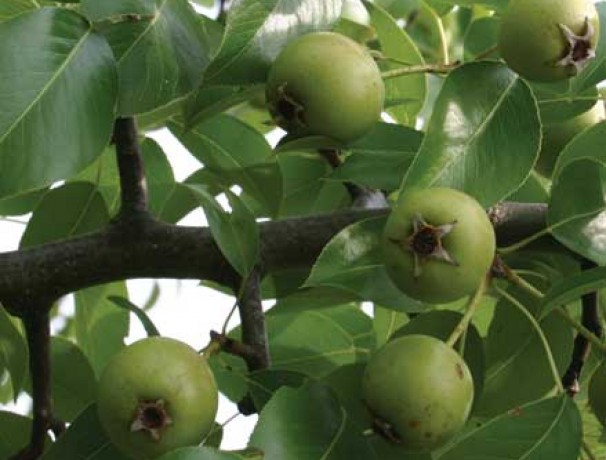 Almond-leaf Pear