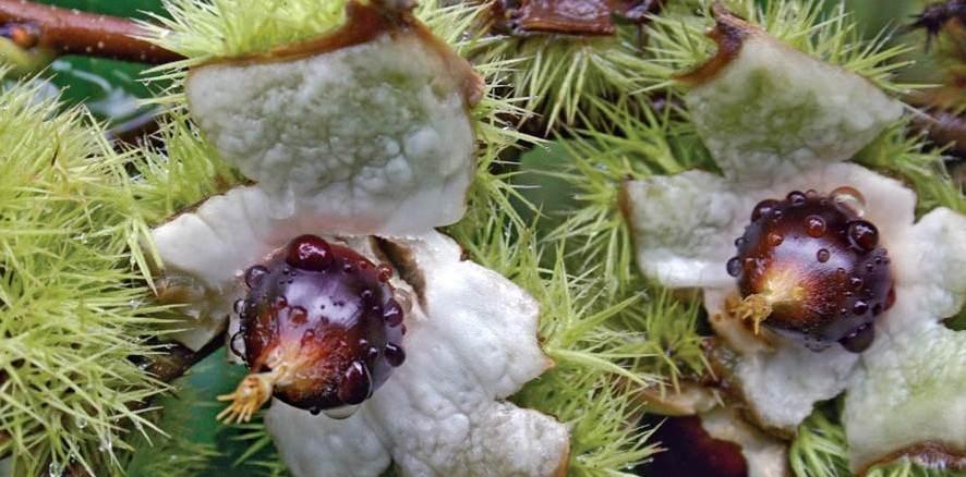 chestnut-chinquapin-burrs