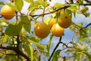 ussuri plum